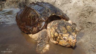 Suwannee alligator snapping turtle