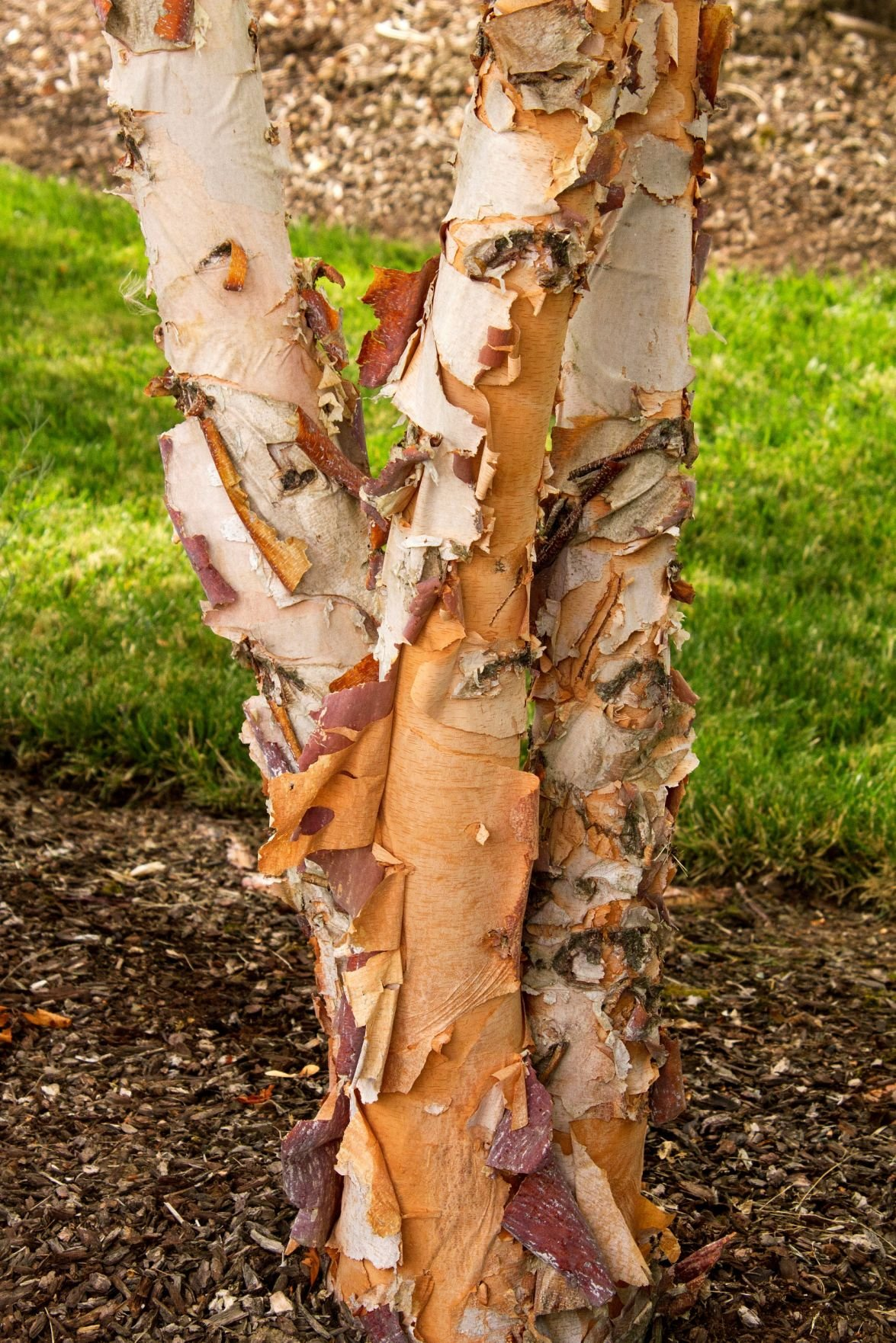 A River Birch Displays Its Distinctive Ling Bark