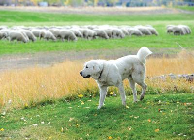 21-10-08 sheep dog trials 1.jpg