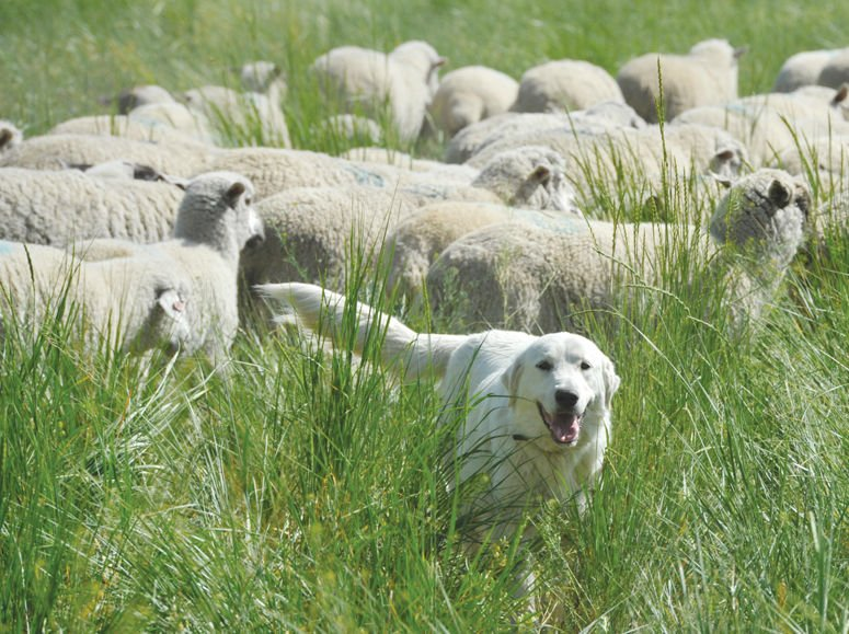 Big white dogs keep sheep safe