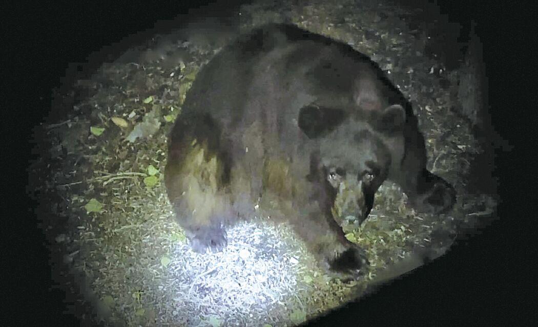 Bald Mountain Road Bear @