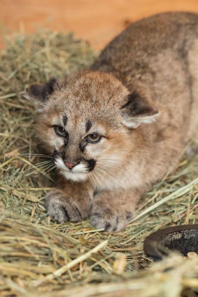Mountain Lion Cub@