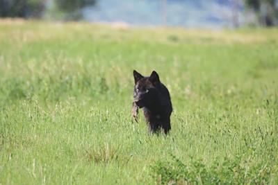 21-06-11 wolves courtesy-WF.jpg