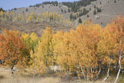 2020 Fall Aspen Trees