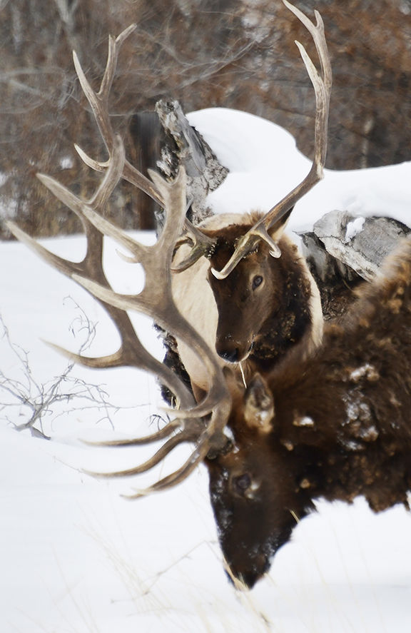 20-01-15  Elk Hailey 2 Roland.jpg