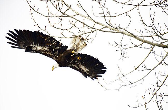 21-01-13  Bald Eagle 2 Roland.jpg