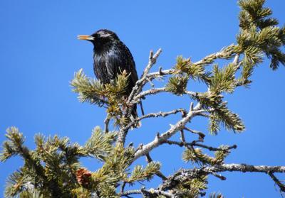Blackbird Broadford