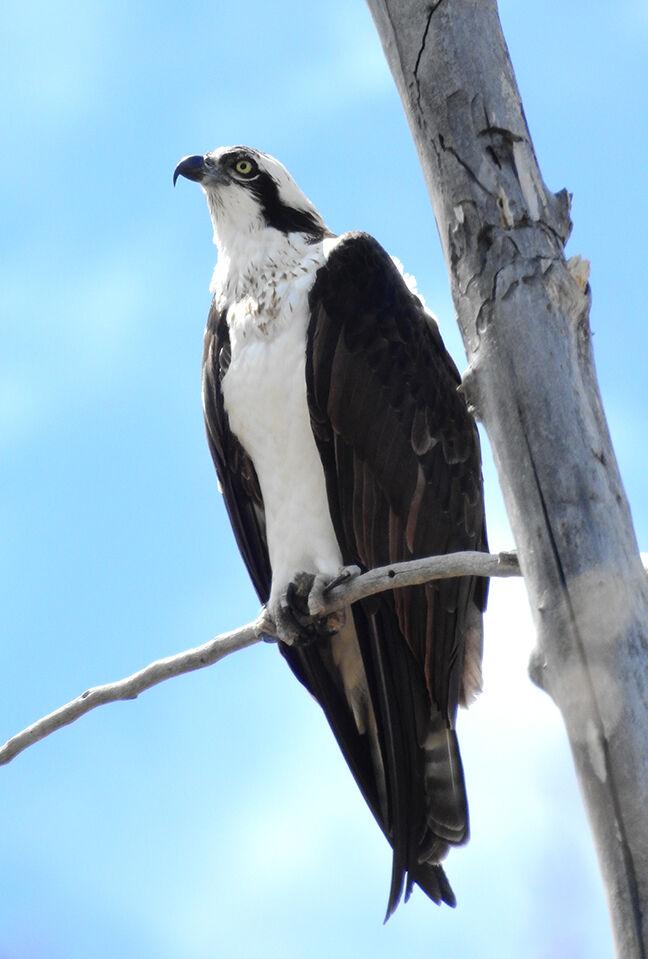 21-05-05 Osprey Bird of Prey 1 Roland.jpg
