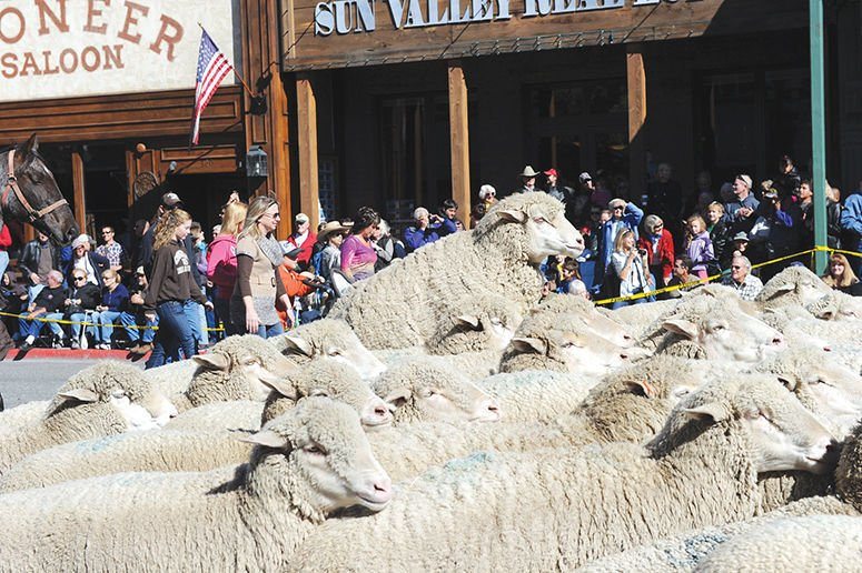 sheep parade