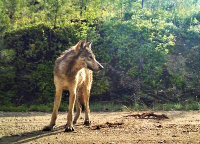 20-09-11 wolves courtesy 3 WF.jpg