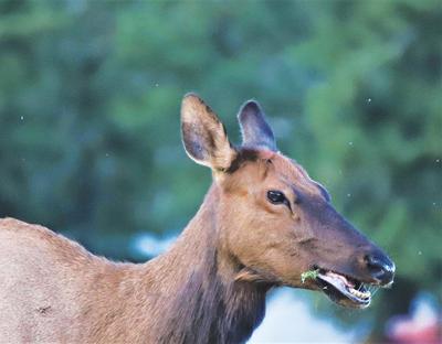 Elk Jones