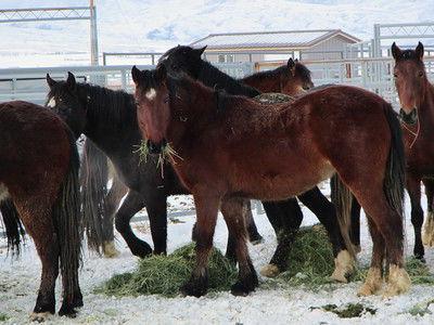 BLM to host wild horse adoption event