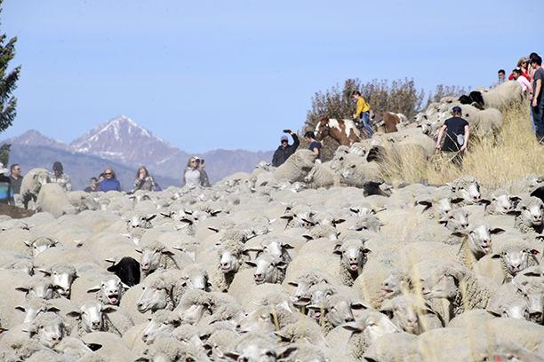 19-10-16 Sheep Parade 20 Roland.jpg