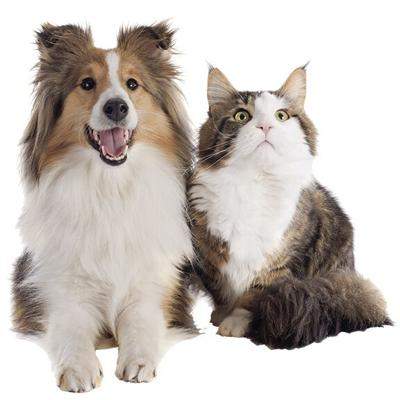 shetland dog and maine coon cat