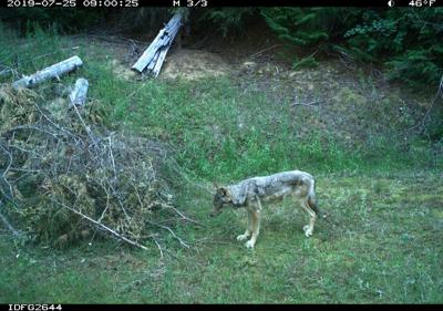 Wolf Mortality