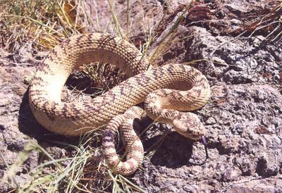 18-06-20 rattlesnake@.jpg