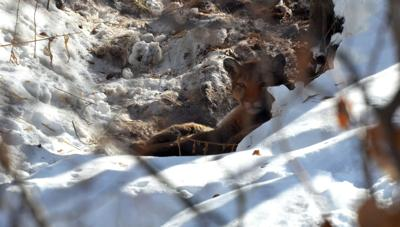 Nonlethal hazing used to move cougar out of Ketchum