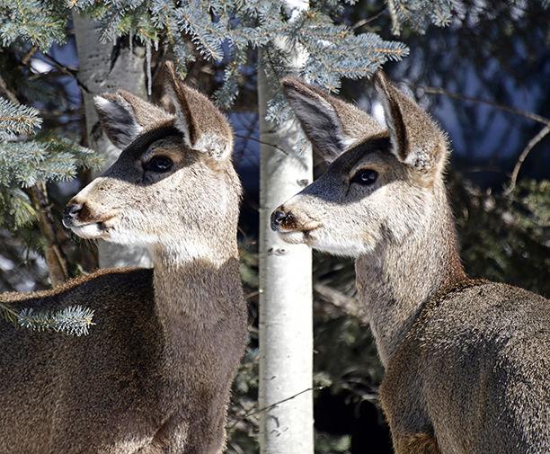 19-02-27 Deer Mule 1 Roland.jpg