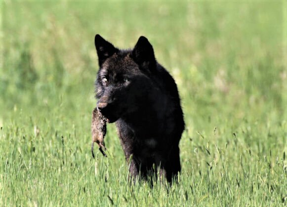 U.S. Fish & Wildlife Service to  re-evaluate gray wolf protections