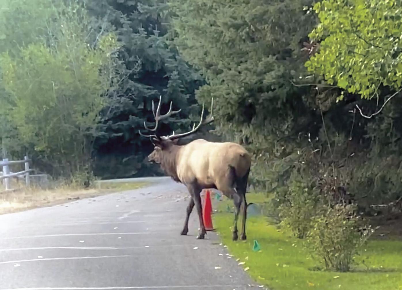 20-10-28 elk courtesy@ WF.jpg