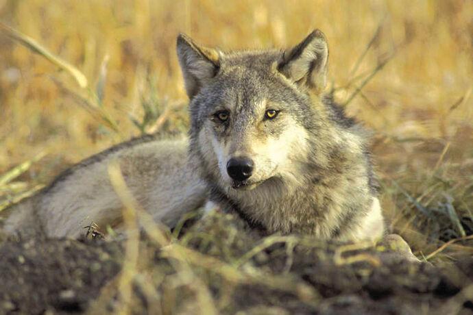 21-05-10 update wolf bill courtesy.jpg