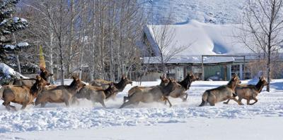 Herd of about 15 elk