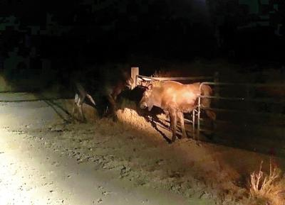 20-11-11 PB moose courtesy@ WF.jpg
