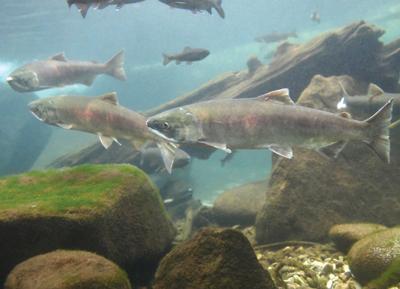 21-09-29 salmon courtesy.jpg