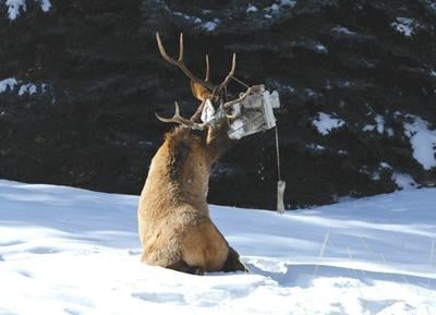 21-01-15 elk rescue courtesy.jpg