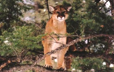 Fish & Game Cougar