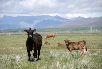 Picabo Ranch Cows