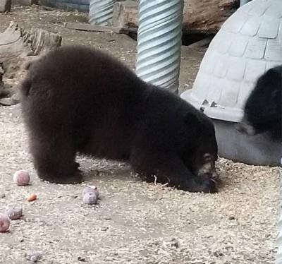 19-10-18 Idaho black bear rehab@.jpg