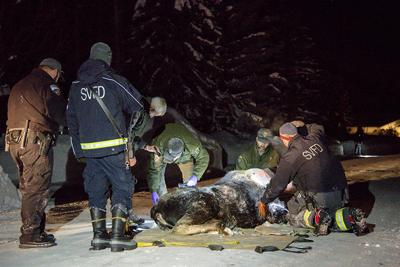Yearling moose dies in rescue attempt