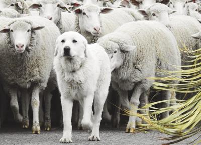 18-10-10 sheep with dog3 roland WF.jpg