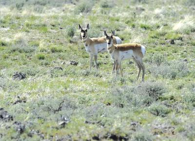 19-04-19 pronghorn antelope CMYK.jpg