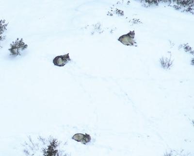 idaho wolves