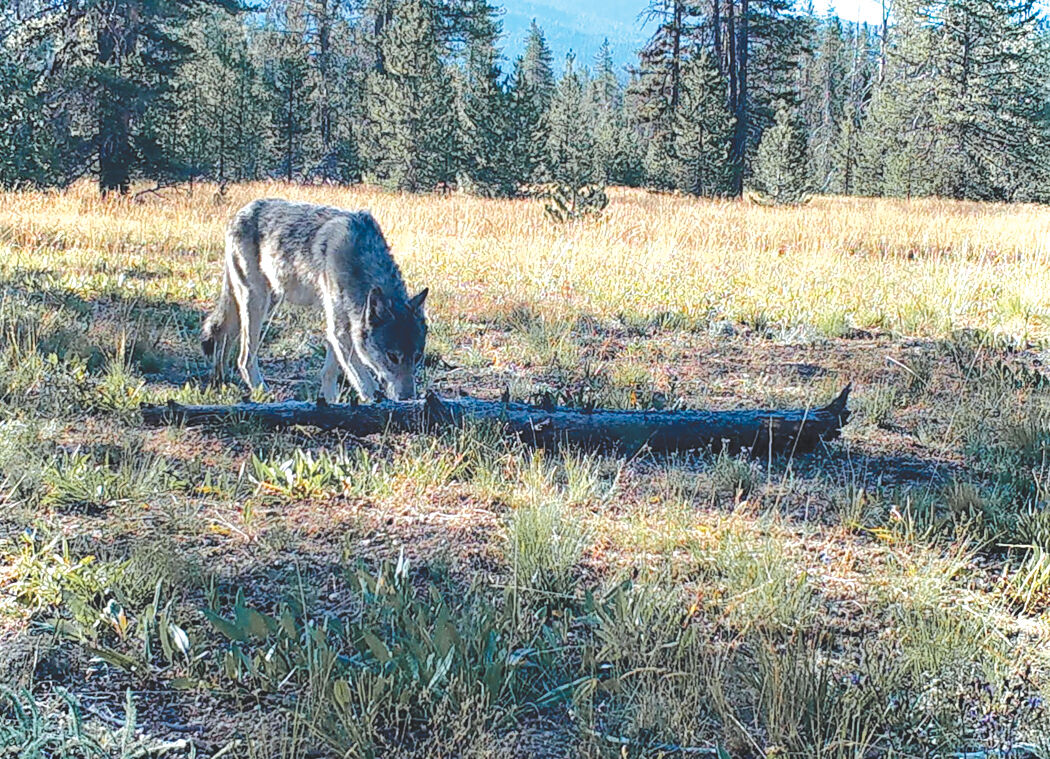 21-04-23 wolf bill courtesy.jpg
