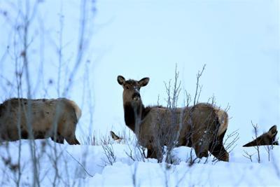 Idaho Fish & Game kill more than 200 elk