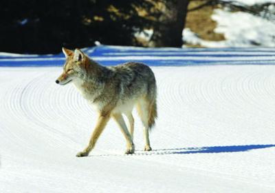 15-06-24 Coyote1 Roland.jpg
