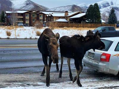 Moose & Calf Albertsons