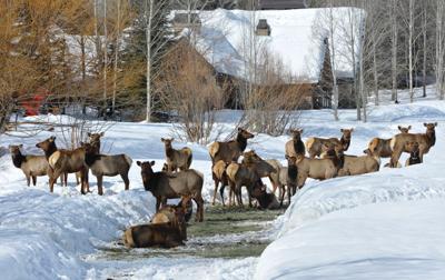 17-12-29 golden eagle elk.jpg