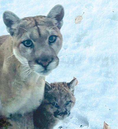 21-02-26 mountain lions courtesy_nick rogers@