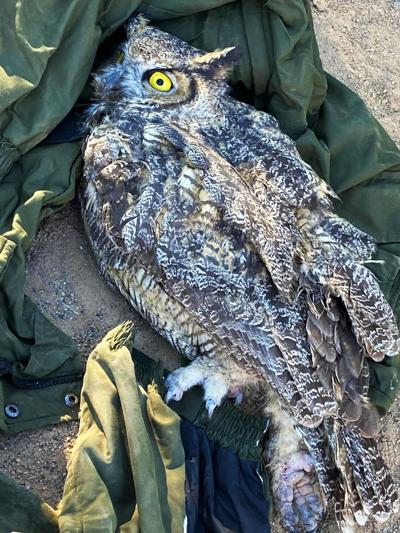 Great Horned Owl Rescue