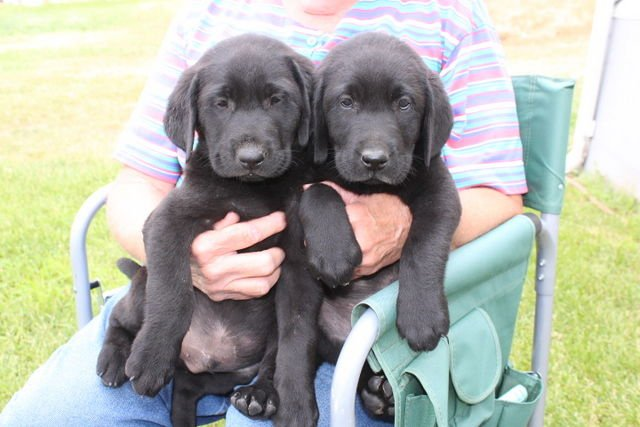 AKC LABRADOR  RETRIEVER PUPPIES image 1
