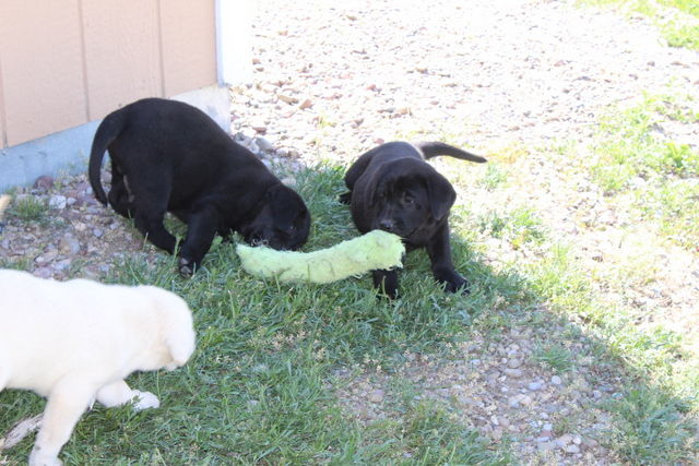 AKC LABRADOR  RETRIEVER PUPPIES image 2