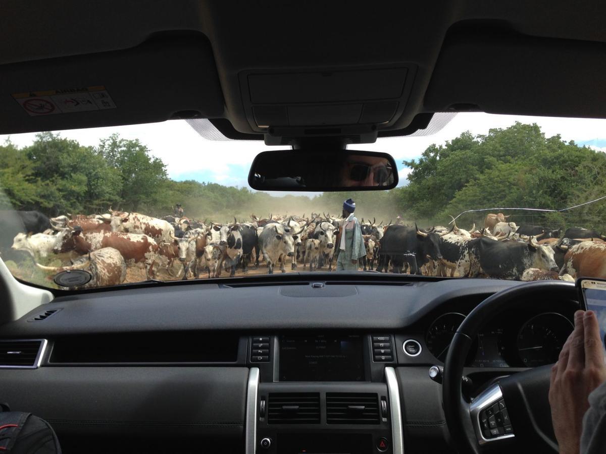 Nongoma-cows