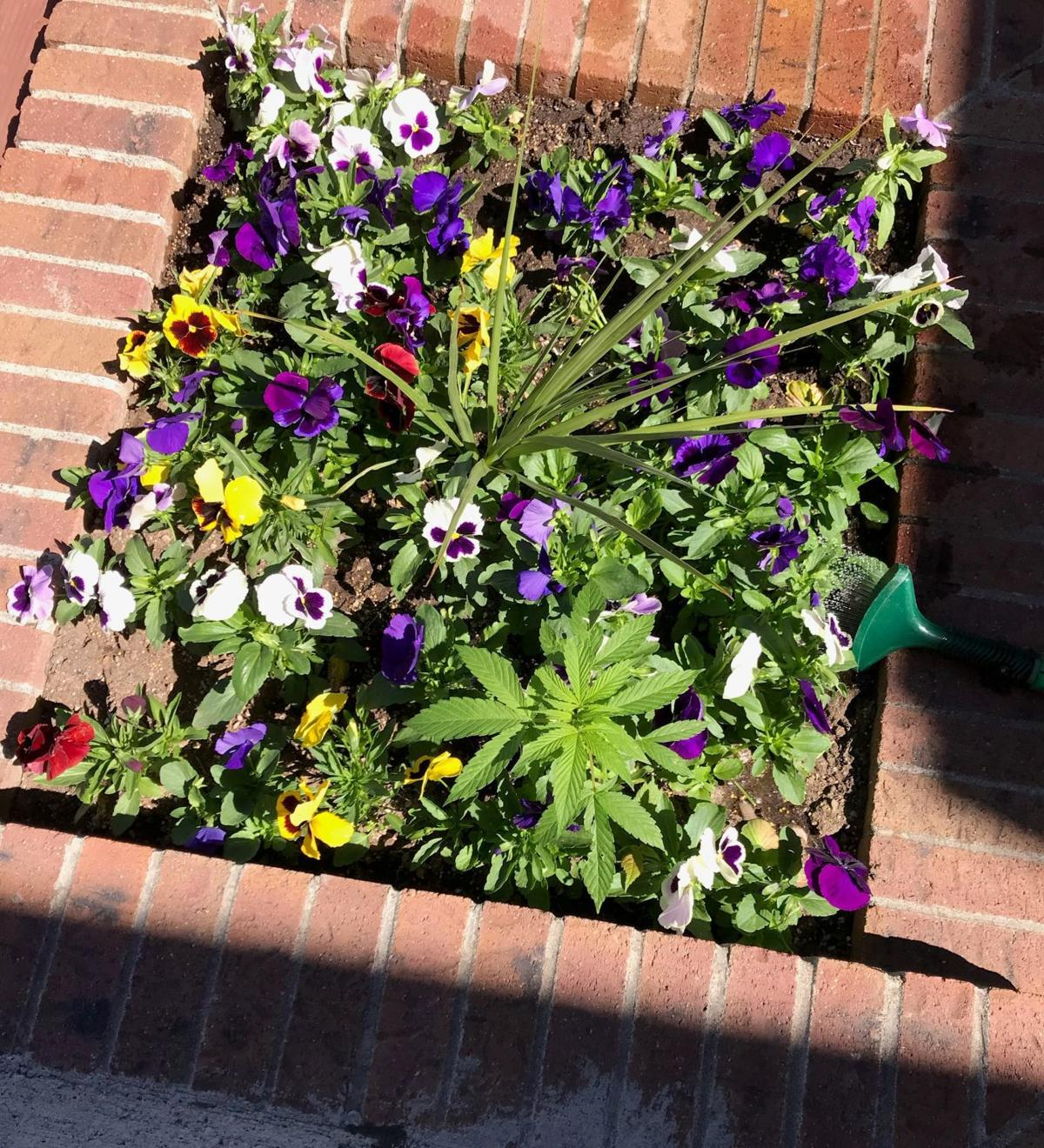 Prankster Plants Marijuana In Wyoming Towns Flower Pots State And