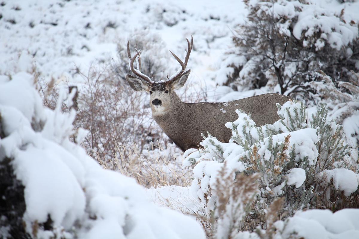 A mule deer buck in the snow.