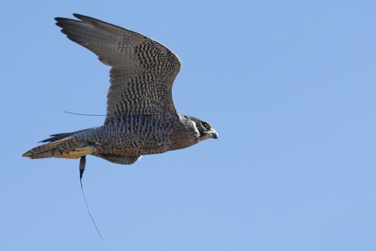Falconing