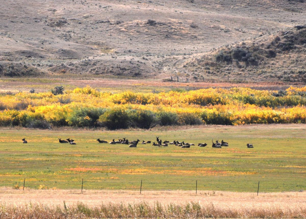 Elk aplenty
